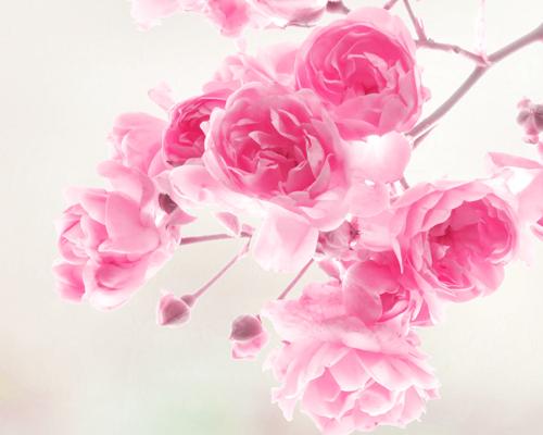 čerešňový datovania kvet